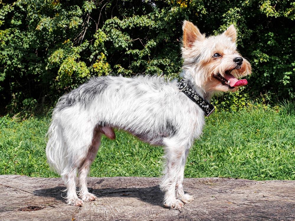 Hunderasse: Biewer-Yorkshire-Terrier