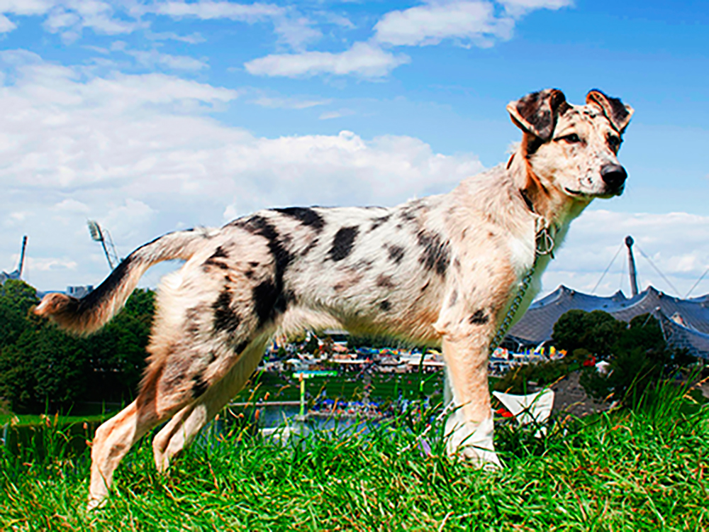 Carea Leonés – Leonese Shepherd Dog