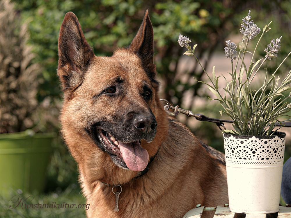 Rassehunde: Deutscher Schäferhund aus der Hochzucht
