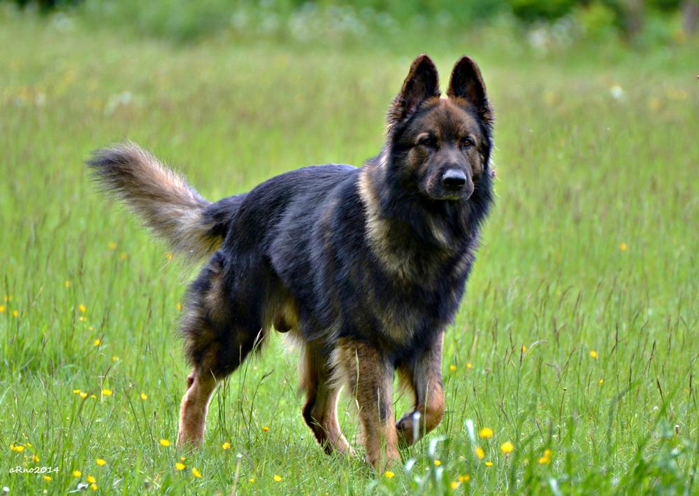 Rassehunde: Deutscher Schäferhund aus der Hochleistungszucht