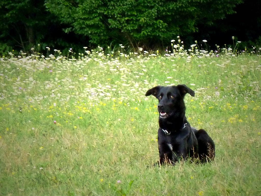 Majorca Shepherd Dog - Ca de Bestiar