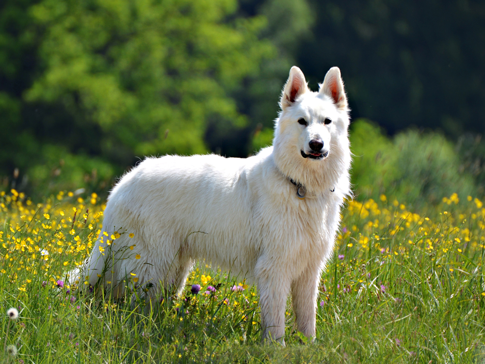 Rassehunde: Schweizer Weißer Schäferhund. Photo: Silvia Checchi